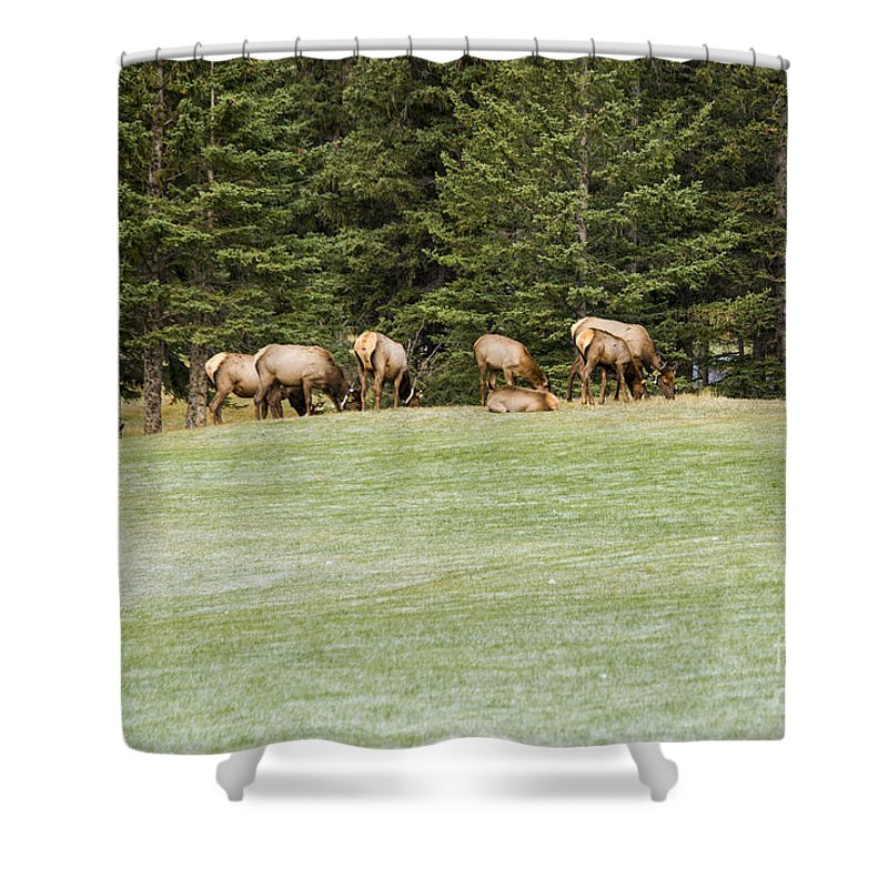 Banaff National Park Canada Parks Tree Trees Fairmont Springs Hotel Golf Course Courses Landscape Landscapes Nature Animal Animals Cow Cows Elk Creature Creatures Shower Curtain featuring the photograph The Harem by Bob Phillips