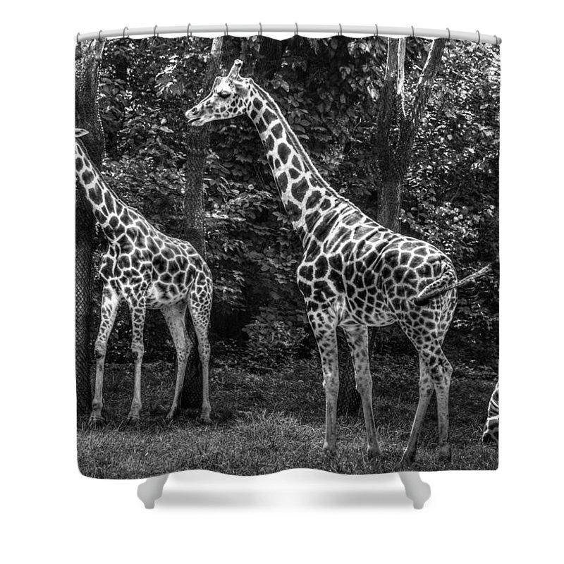 Giraffe Shower Curtain featuring the photograph The Higherups by Jeff Watts