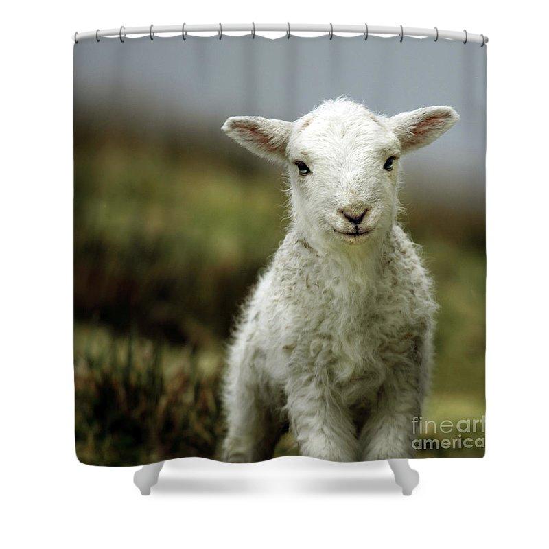 Sheep Shower Curtains