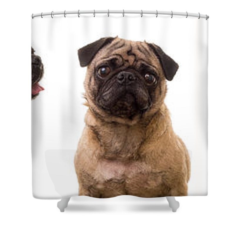 Pug Shower Curtain featuring the photograph The Usual Suspects by Edward Fielding