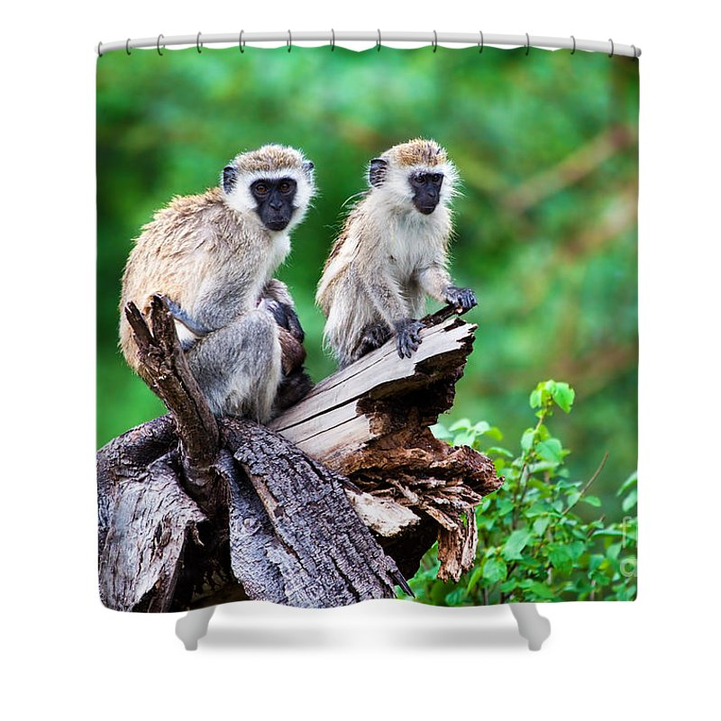 Vervet Shower Curtain featuring the photograph The Vervet Monkey. Lake Manyara. Tanzania. Africa by Michal Bednarek