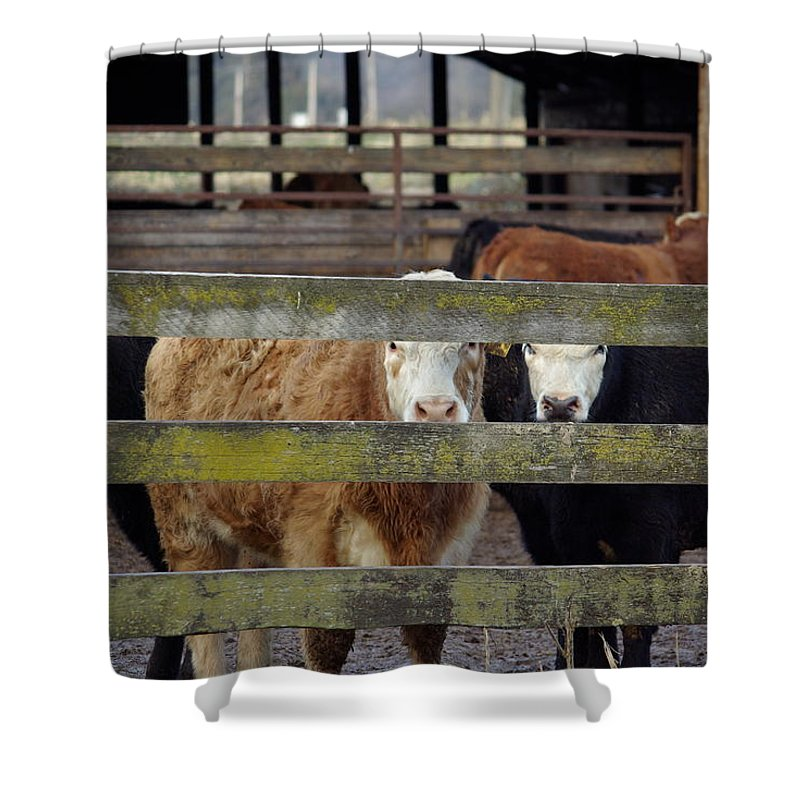 Cow Shower Curtain featuring the photograph The Watchers by Cindy Johnston