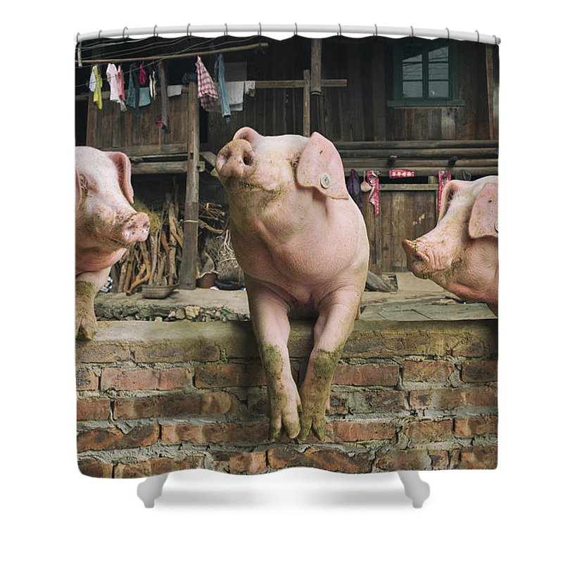 Pig Shower Curtain featuring the photograph Three Pigs Having A Chat In A Remote by Mediaproduction