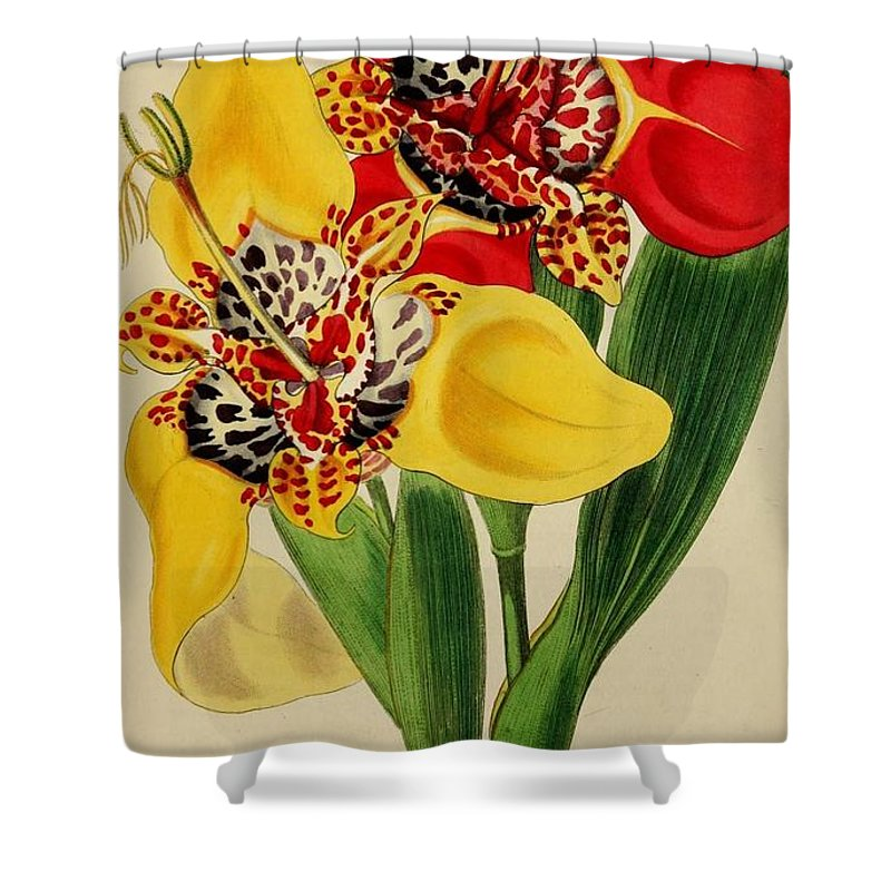 Florist Shower Curtain featuring the painting Tigridia Pavonia And Conchiflora by Philip Ralley