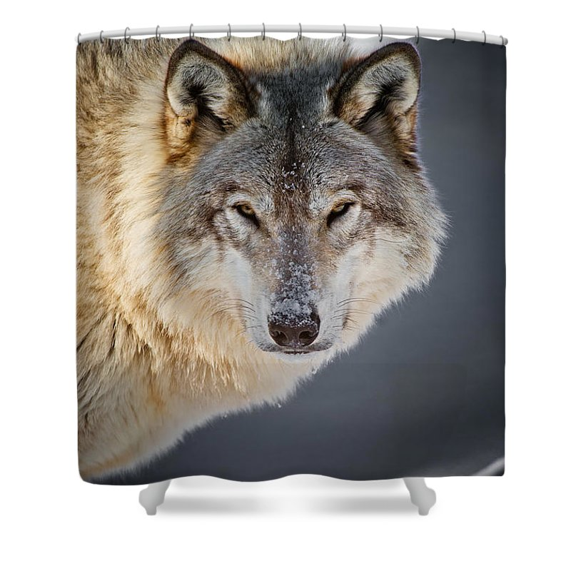 Timber Wolf Shower Curtain featuring the photograph Timber Wolf Christmas Card French 21 by Wolves Only
