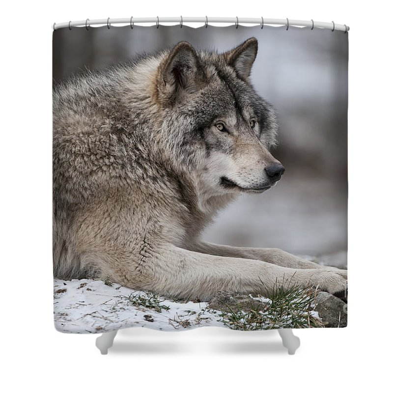 Timber Wolf Photography Shower Curtain featuring the photograph Timber Wolf Portrait by Wolves Only