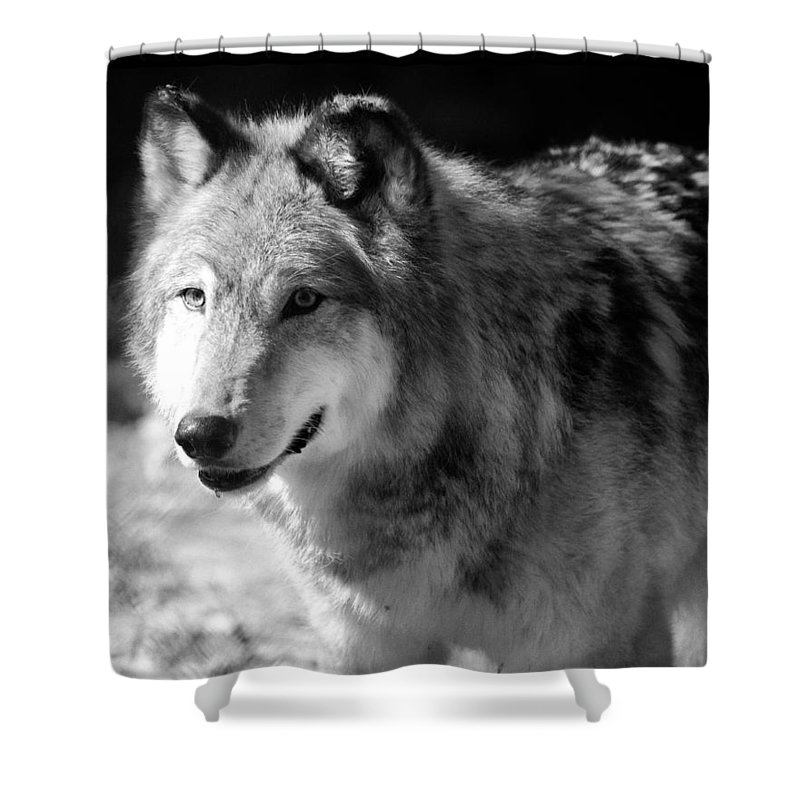 Wolf Shower Curtain featuring the photograph Timber Wolf by Stephanie McDowell