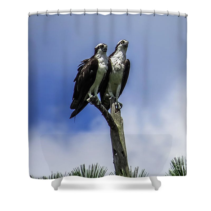 Osprey Shower Curtain featuring the photograph Together Again by Zina Stromberg