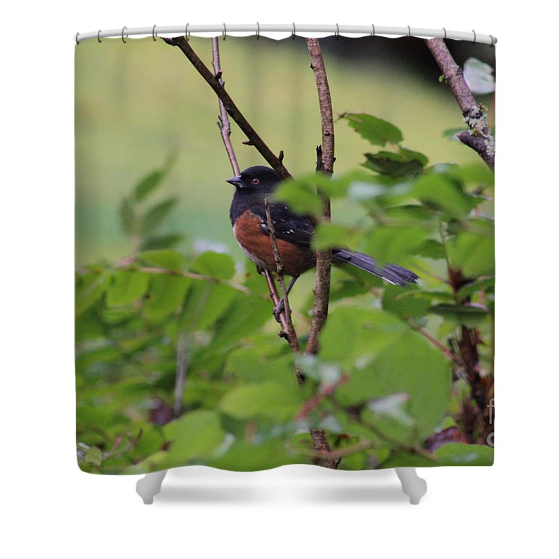 Rufous Sided Towhee Shower Curtain featuring the photograph Towhee Keeps Watch On High by Kym Backland