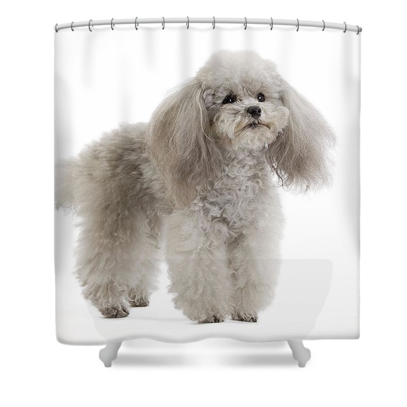 Dog Shower Curtain Featuring The Photograph Toy Poodle By Jean Michel Labat