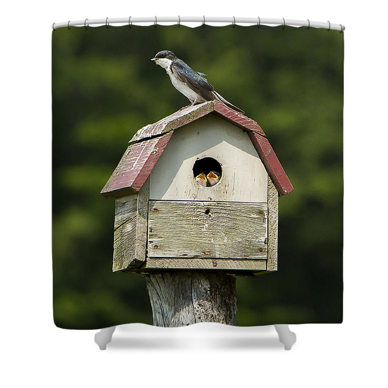 Tree Shower Curtain featuring the photograph Tree Swallow With Young by Brad Marzolf Photography
