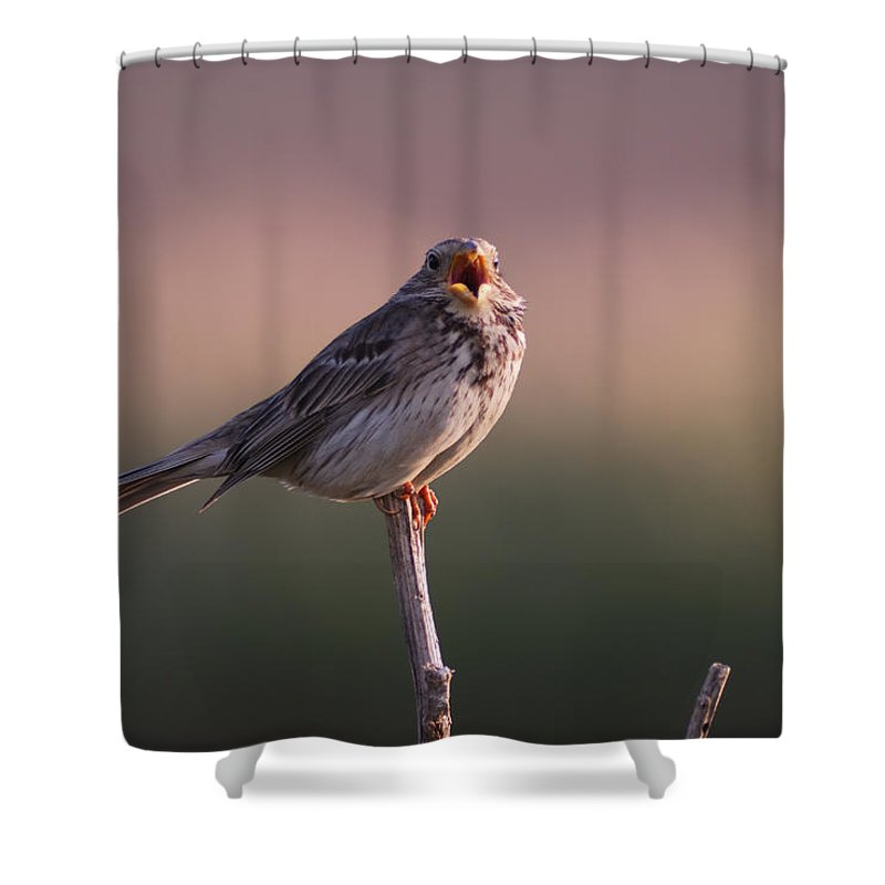 Birds Shower Curtain featuring the photograph Triguero Corn Bunting by Guido Montanes Castillo