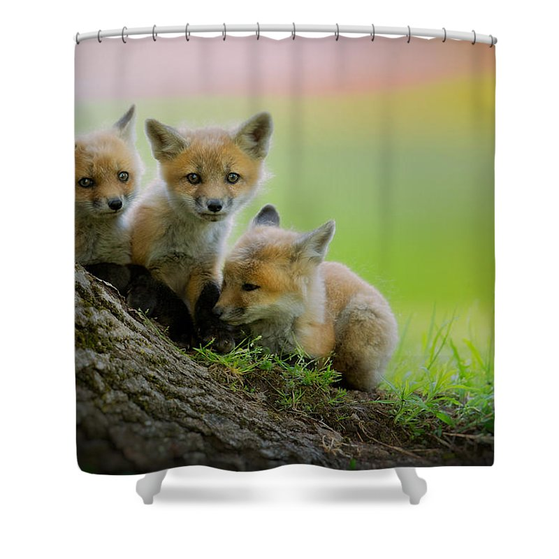Fox Shower Curtain featuring the photograph Trio Of Fox Kits by Everet Regal