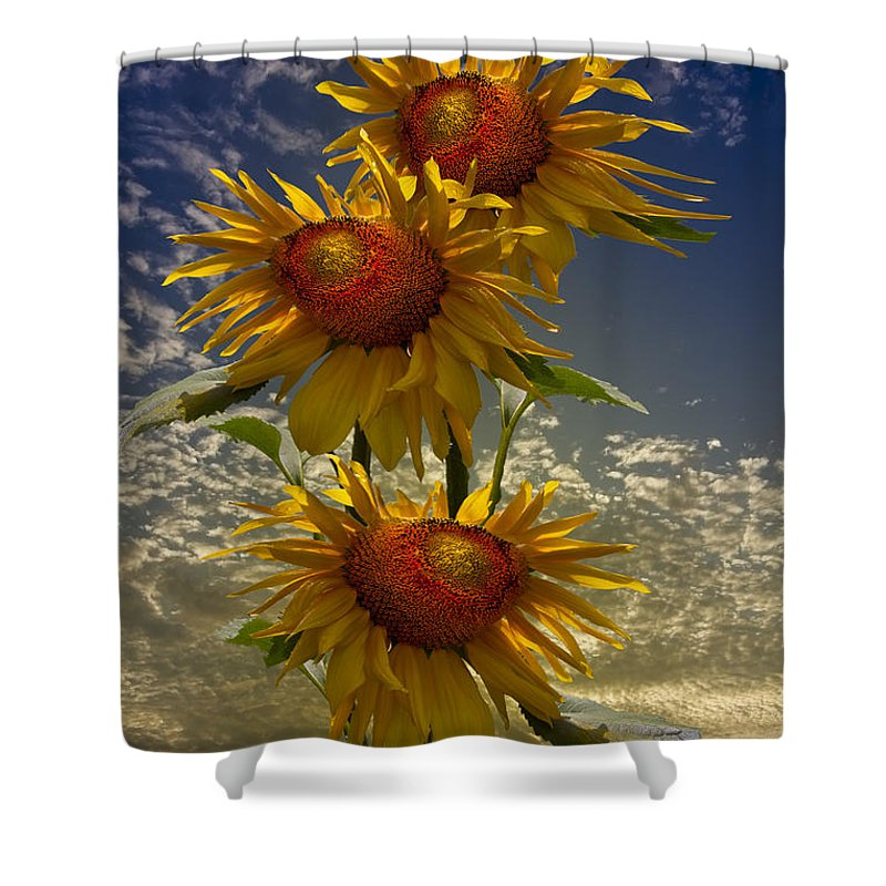 Austria Shower Curtain featuring the photograph Trio Of Sunflowers by Debra and Dave Vanderlaan