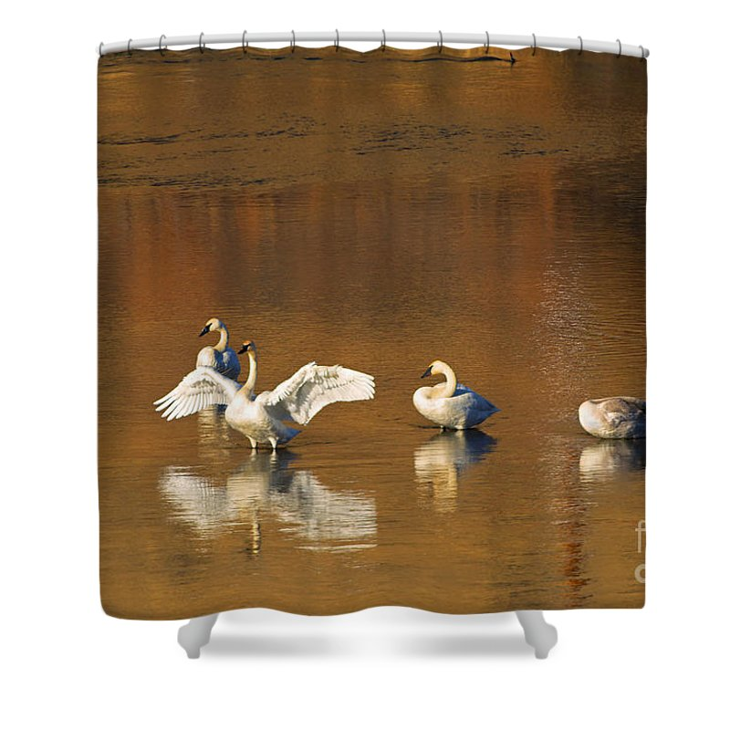 Swan Shower Curtain featuring the photograph Trumpeter Ballet by Mike Dawson
