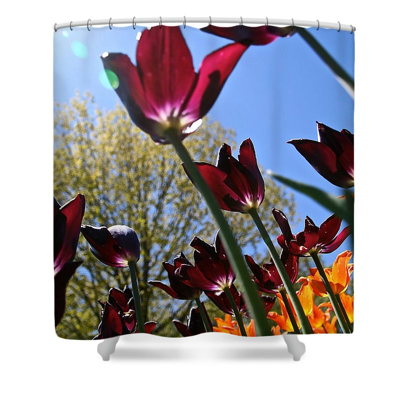 Flower Shower Curtain featuring the photograph Tulip Tango by Susan Herber