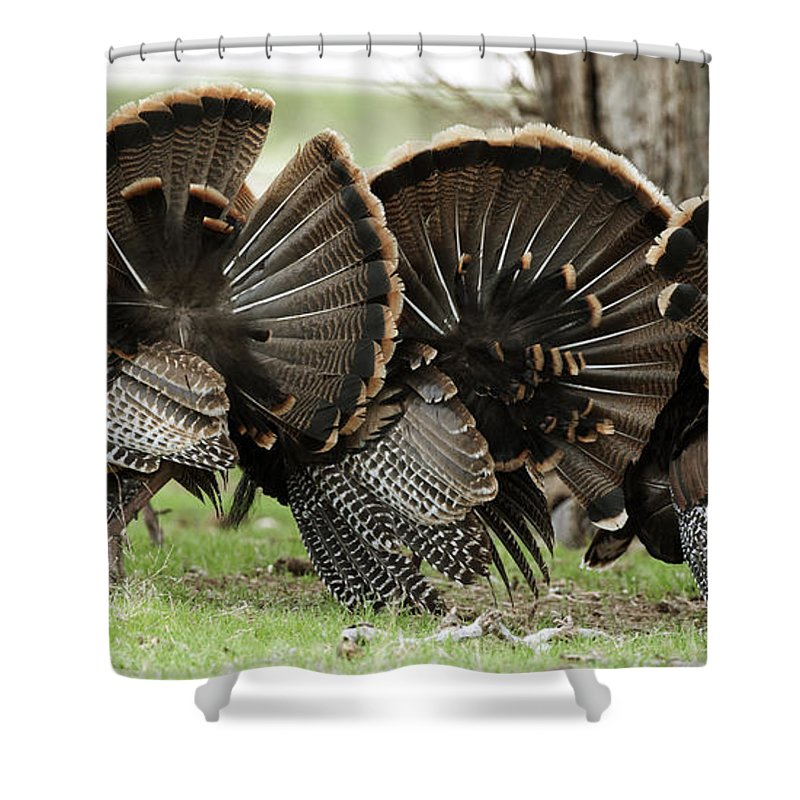 Turkey Shower Curtain featuring the photograph Turkey Butt Strut by Gary Langley