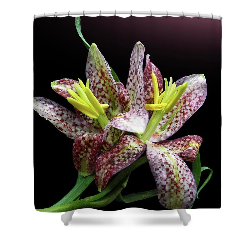 Black Background Shower Curtain featuring the photograph Two Checkered Daffodils by Gitpix