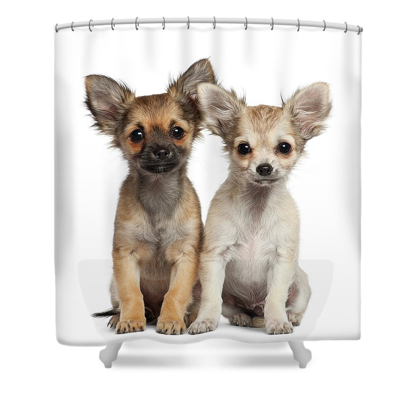 Pets Shower Curtain featuring the photograph Two Chihuahua Puppies Sitting 3 Months by Life On White