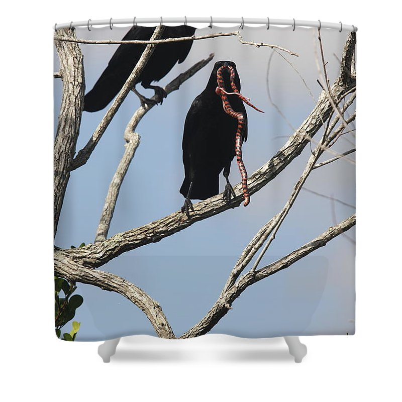 Raven Shower Curtain featuring the photograph Two Raven With A Snake by Christiane Schulze Art And Photography