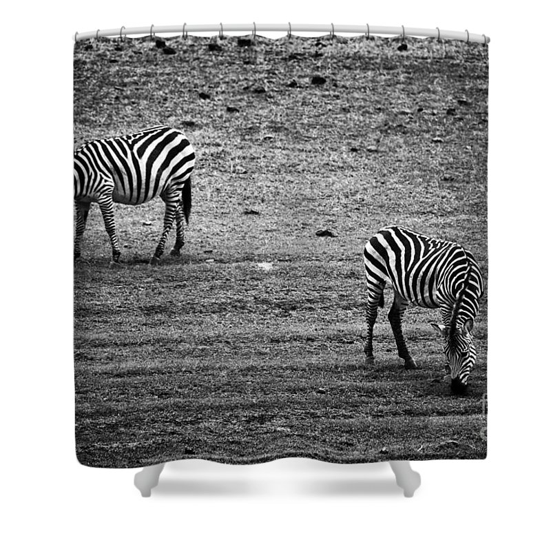 Zebra Shower Curtain featuring the photograph Two Zebras Eating. Tanzania by Michal Bednarek