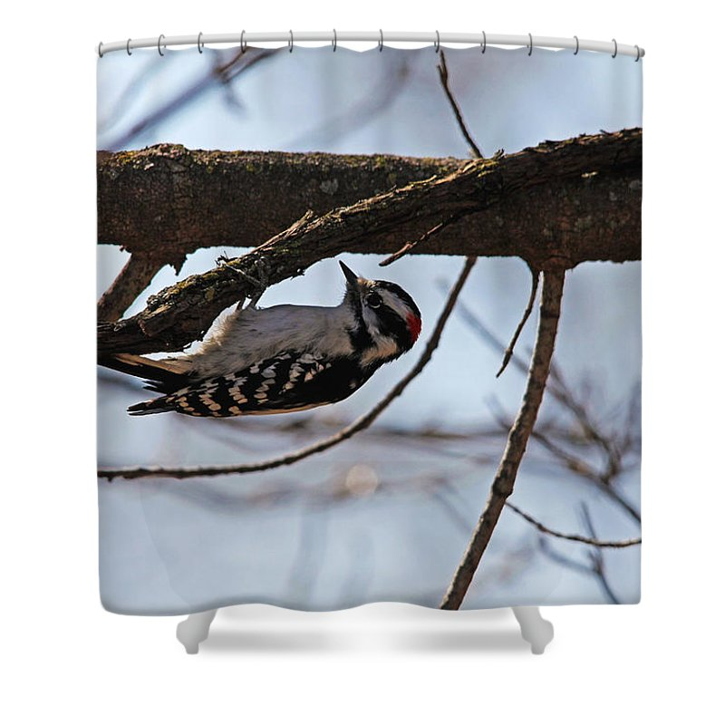 Woodpeckers Shower Curtain featuring the photograph Upside Downy by Debbie Oppermann