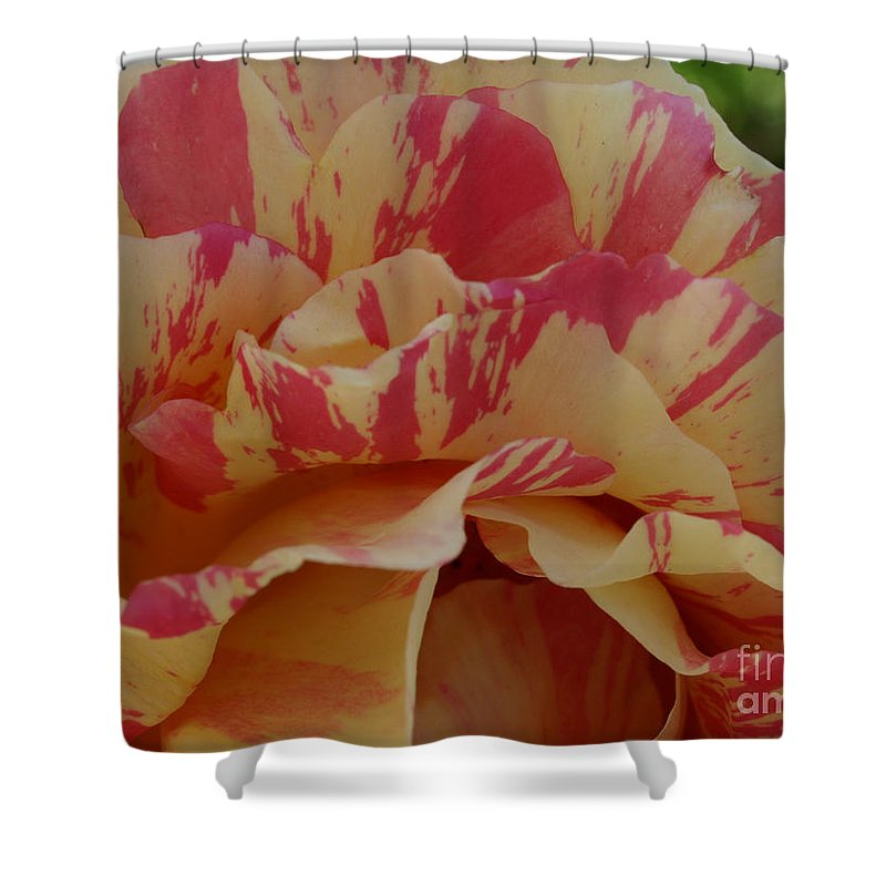 Yellow Shower Curtain featuring the photograph Variegated Rose by Jacklyn Duryea Fraizer