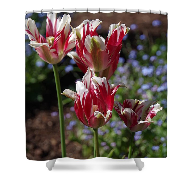 Tulips Shower Curtain featuring the photograph Variegated Tulips by Marilyn Wilson