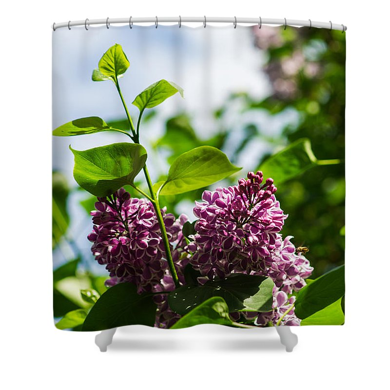Beautiful Shower Curtain featuring the photograph Violet Lilacs And A Bee by Alexander Senin