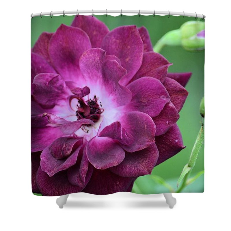 Violet Rose And Buds Shower Curtain featuring the photograph Violet Rose And Buds by Maria Urso