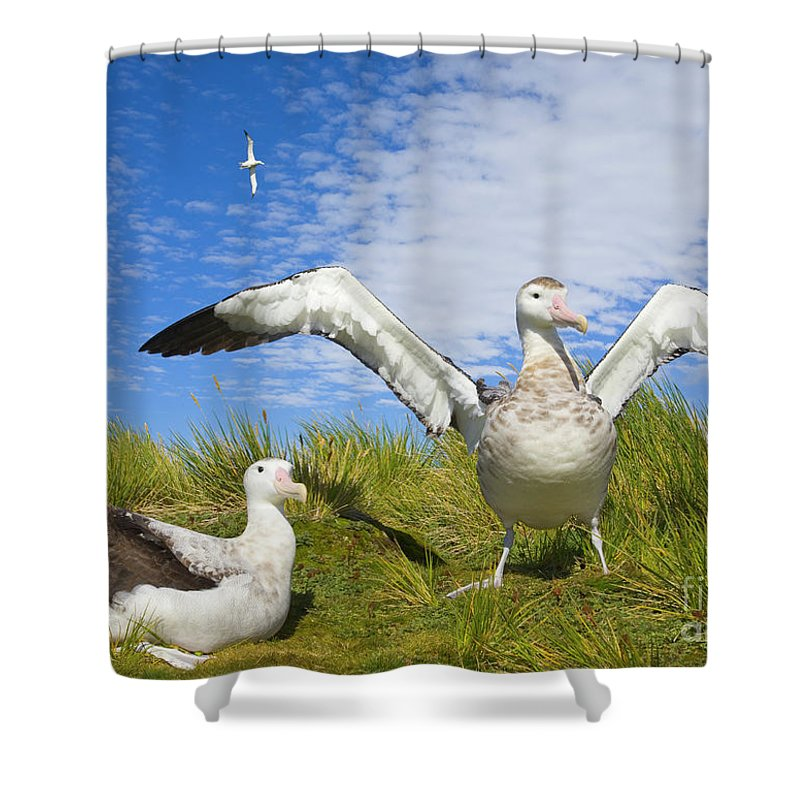 00345305 Shower Curtain featuring the photograph Wandering Albatross Courting by Yva Momatiuk John Eastcott