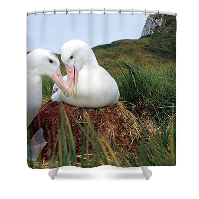 Photography Shower Curtain featuring the photograph Wandering Albatross Diomedea Exulans by Animal Images