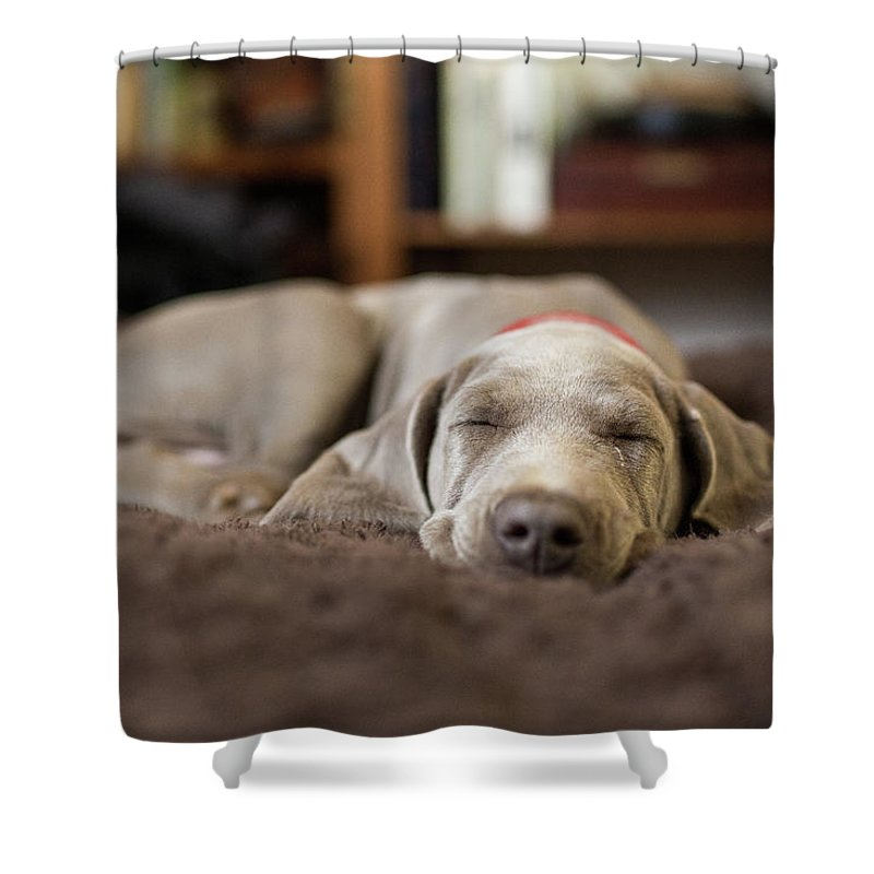 Pets Shower Curtain featuring the photograph Weimaraner Puppy Sleeping Indoors by Purple Collar Pet Photography