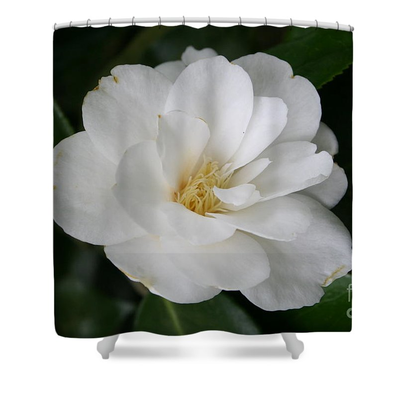 White Camellia Shower Curtain featuring the photograph Snow White Camellia by Christiane Schulze Art And Photography