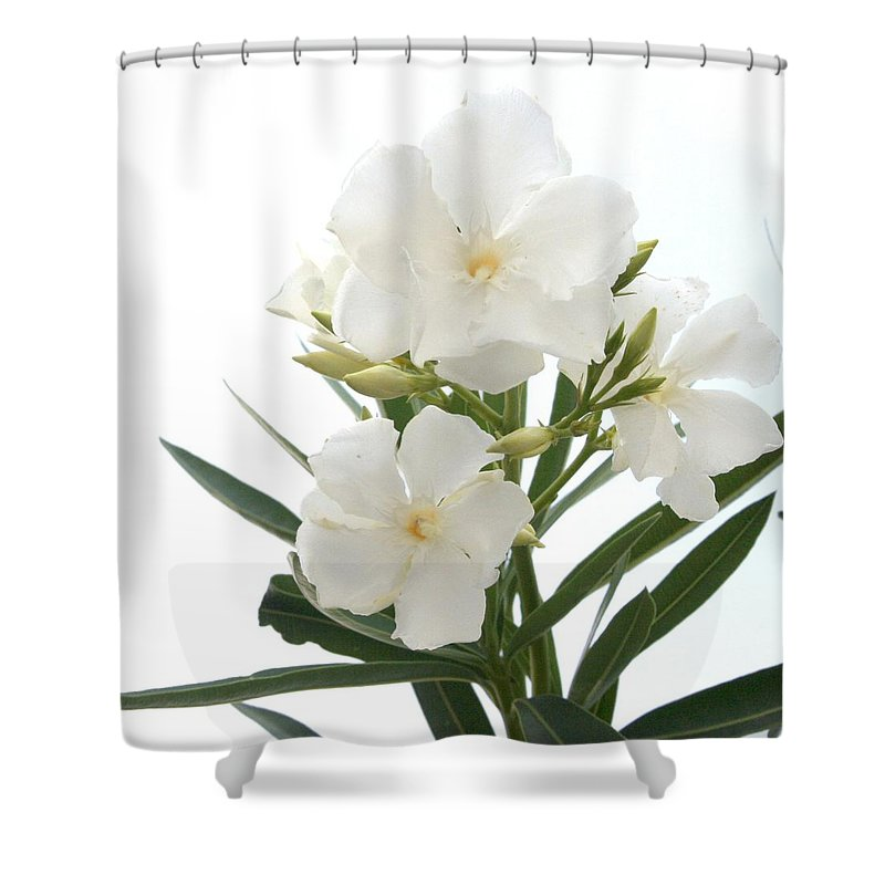 White Oleander Flowers Close Up Isolated On White Background Shower