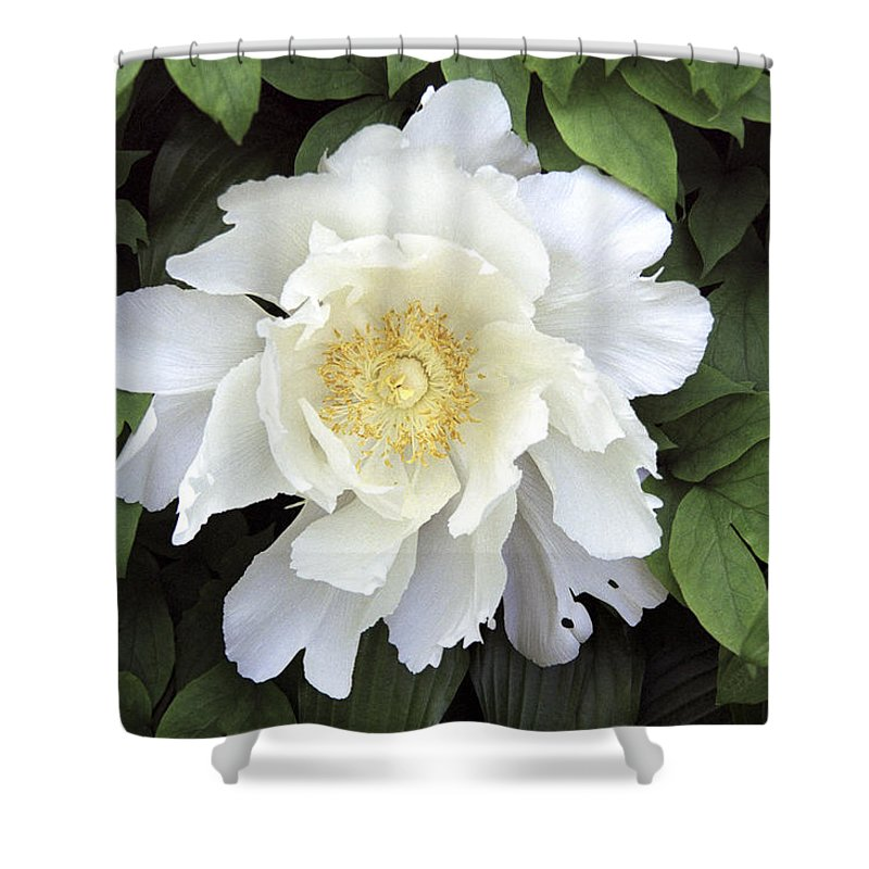 White Shower Curtain featuring the photograph White Peonies by Richard Kitchen