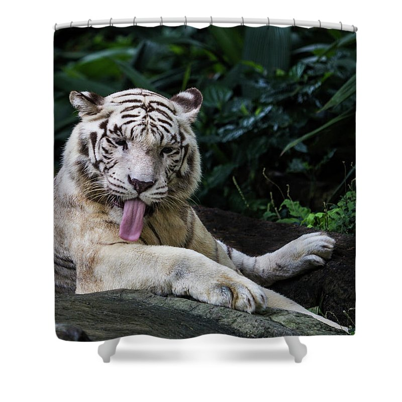 White Tiger Shower Curtain featuring the photograph White Tiger by Manoj Shah