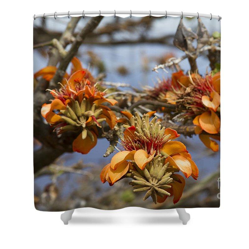 Aloha Shower Curtain featuring the photograph Wiliwili Flowers - Erythrina Sandwicensis - Kahikinui Maui Hawaii by Sharon Mau