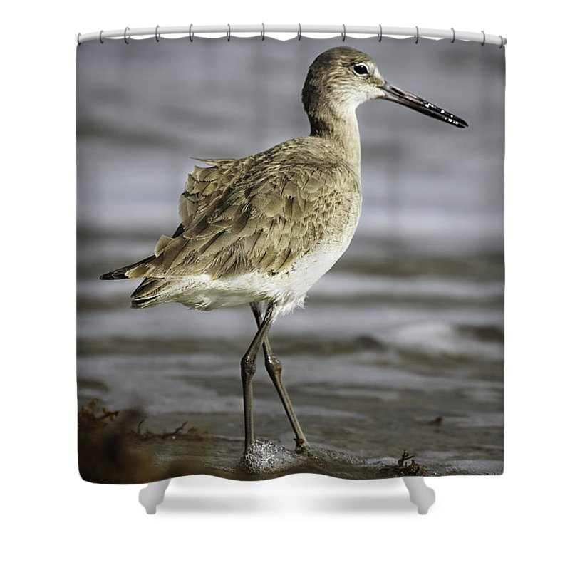 Birds Shower Curtain featuring the photograph Willet by Fran Gallogly