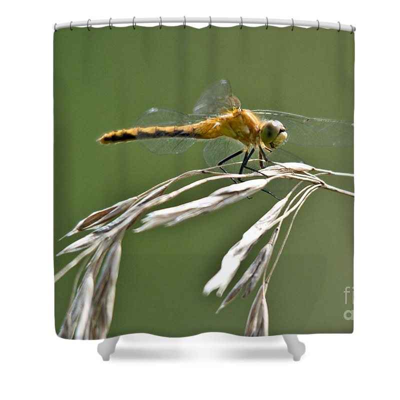 Common Red Darter Shower Curtain featuring the photograph Winged Beauty by Cheryl Baxter