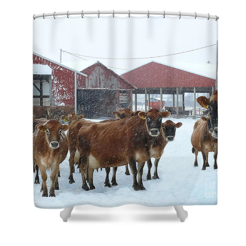Jersey Cows Shower Curtain featuring the photograph Winter Dairyland by Teresa A and Preston S Cole Photography