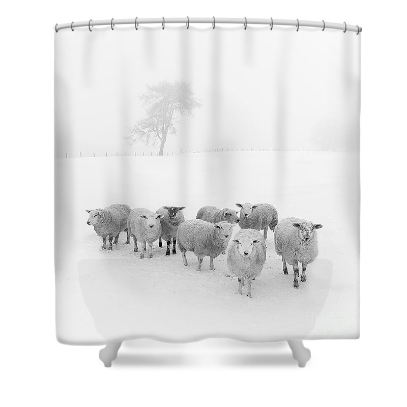Sheep In Winter Shower Curtain featuring the photograph Winter Woollies by Janet Burdon
