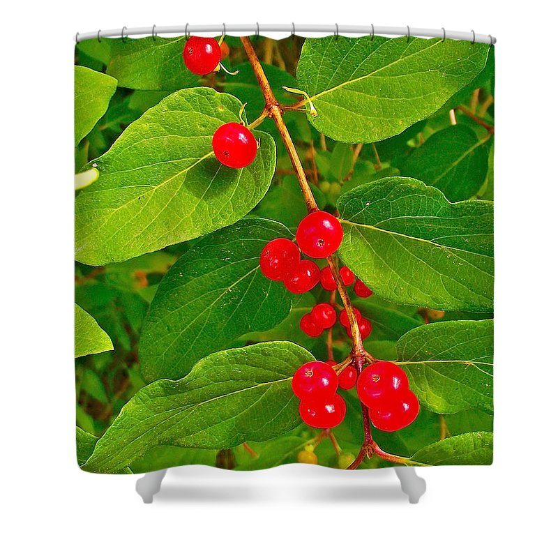 Winterberry On Trail Along Rivier Du Nord In The Laurentians North Of Montreal Shower Curtain featuring the photograph Winterberry Along Rivier Du Nord Trail In The Laurentians-qc by Ruth Hager