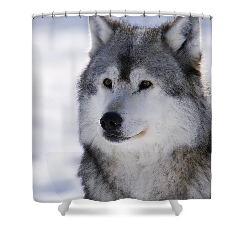 Adult Shower Curtain featuring the photograph Wolf Winter Portrait by Mark Newman