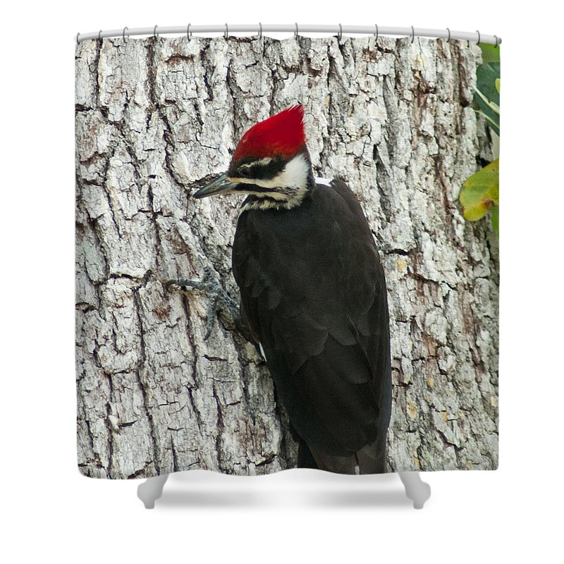 Florida Shower Curtain featuring the photograph Working Woodpecker by Stephen Whalen