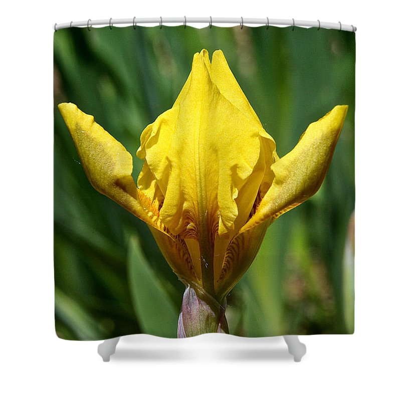 Flower Shower Curtain featuring the photograph Wow The Dwarf Iris by Susan Herber