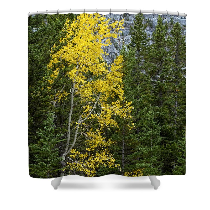 Banff National Park Canada Parks Birch Tree Trees Fall Color Autumn Leaves Colors Leaf Leaves Nature Landscape Landscapes Shower Curtain featuring the photograph Yellow And Green by Bob Phillips