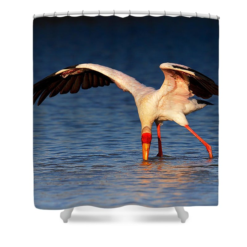 Yellow-billed Shower Curtain featuring the photograph Yellow-billed Stork Hunting For Food by Johan Swanepoel