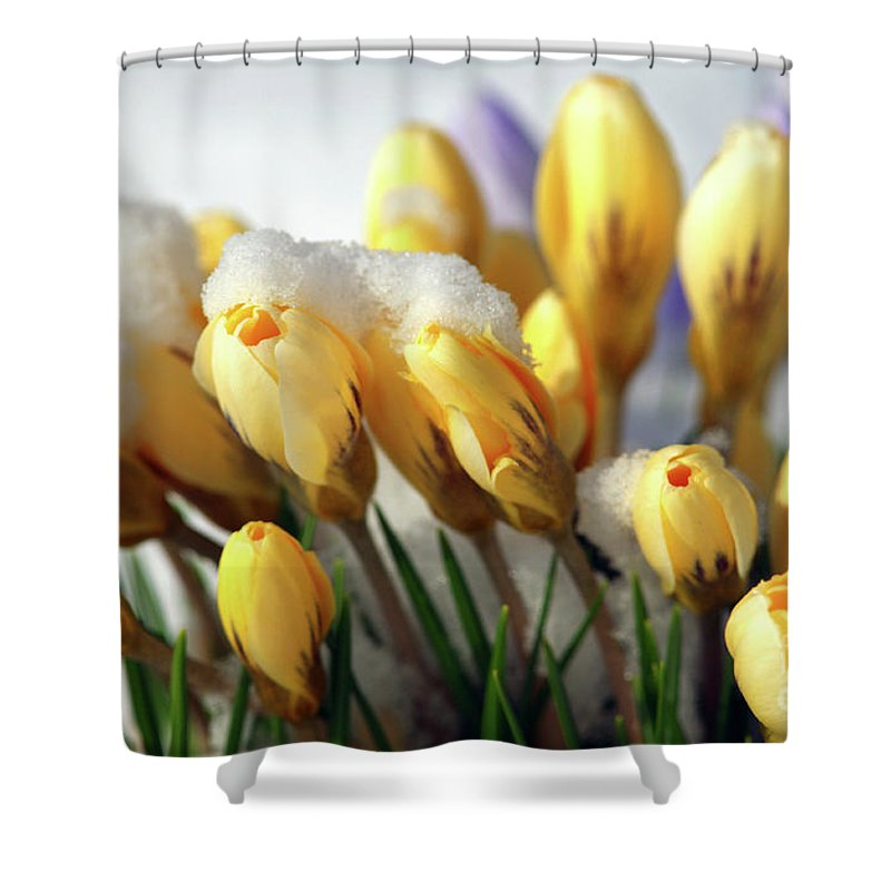 Yellow Crocuses Shower Curtain featuring the photograph Yellow Crocuses In The Snow by Sharon Talson