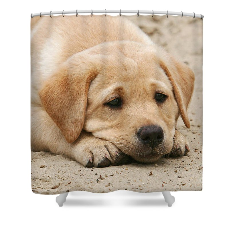 Labrador Shower Curtain Featuring The Photograph Yellow Labrador Retriever  Puppy Lying Head Down In Sand By